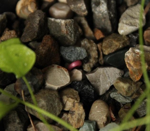 Uva da seme 29.04.19