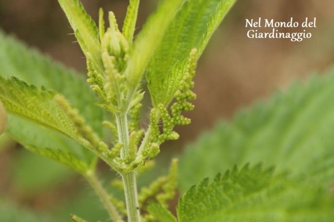 Ortica - boccioli piccoli - pianta maschio